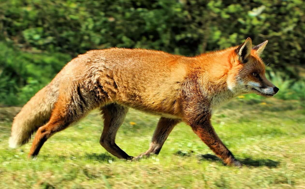 Western European Fox